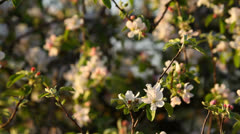 Apple tree blooming, beautiful blossoms in spring Stock Footage