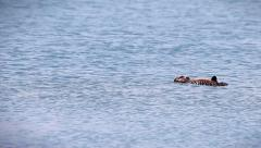 Sea Otter baby floats away after coming loose from kelp in Pacific Ocean. Stock Footage