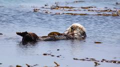 Stock Video Footage of Sea Otter floats in kelp and relaxes with legs crossed in Pacific Ocean.
