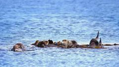Group of Sea Otter babies and adults cleaning & playing in Pacific Ocean Stock Footage