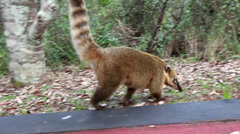 Coati 0105 Stock Footage