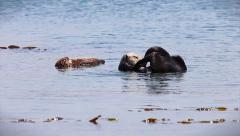 Sea Otter mom cleans and plays while her sleeping baby floats alongside her. Stock Footage