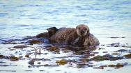 Stock Video Footage of Sea Otter mom cleans, plays and bonds with her baby in the Pacific Ocean.