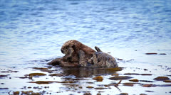 Sea Otter mom cleans, plays and bonds with her baby in the Pacific Ocean. - stock footage