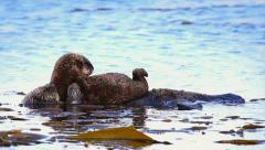 Sea Otter mom sleeps while baby cleans itself on top of her. Stock Footage
