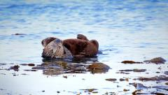 Sea Otter mom cleans, plays and bonds with her baby in the Pacific Ocean. Stock Footage