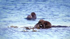 Sea Otter moms clean, play and bond with their babies in the Pacific Ocean. Stock Footage