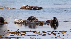 Sea Otters sleep in kelp, lazily drift along, then wake up in the Pacific Ocean. Stock Footage