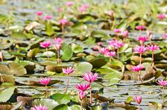 the lake of pink water lily - stock photo