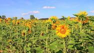 Stock Video Footage of Sunflower one