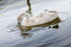 little swan in the wildlife very curious - stock photo