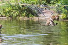 jumping monkey directly above the water - stock photo