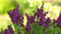 Purple blossoms in summer Stock Footage