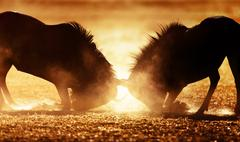Blue wildebeest dual in dust Stock Photos