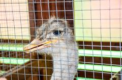 ostrich in aviary - stock photo