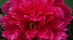 Paeony  in bloom - close up - full screen - stock footage