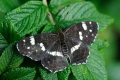 Map butterfly (araschnia levana), summer brood on leaf of dog-rose. Stock Photos