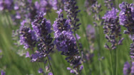 Stock Video Footage of HD1080p25 Lavender Blowing in the Wind (Close Up) Part 4