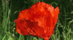 Papaver orientale, Oriental poppy side view petals + zoom out Stock Footage