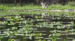 Lily pad pond Stock Footage