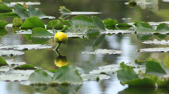 Lily pad flower on pond Stock Footage