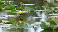Stock Video Footage of Lily pad flower on pond