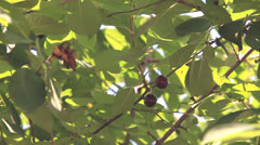 Two sweet cherry fruit in trees leaves Stock Footage