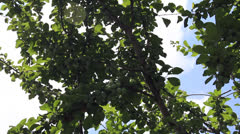 Plum fruits yield Stock Footage