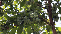Many immature plums on tree branch Stock Footage
