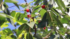Red cherry fruits in tree green leaves Stock Footage