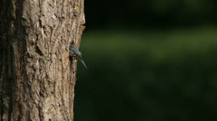 Blue tit visits its nest with young in a hollow inside the tree trunk Stock Footage