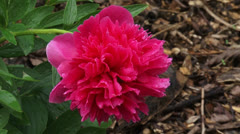 Paeony  in full bloom - wide shot - stock footage