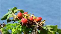 Berries grow wild near seawater Stock Footage