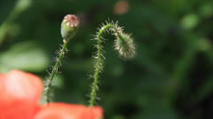 Poppy flowers bud and box swing in sunlight Stock Footage