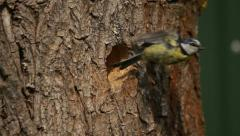 Blue tit feeds its young in a hollow in the tree trunk Stock Footage