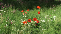 Oriental poppy and Cow Parsley blooming in summer meadow Stock Footage