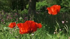 Pan + hold Papaver orientale, Oriental poppy blooming in summer meadow Stock Footage