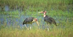 two marabou storks - stock photo