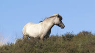 Stock Video Footage of Icelandic horse in summer breeze - zoom out heath land