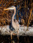 Great blue heron at assateague island national seashore, maryland Stock Photos
