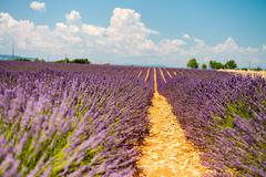 Lavender flower blooming scented fields in endless rows. valensole plateau, p Stock Photos