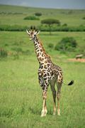 strolling giraffe - stock photo