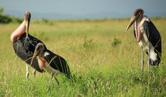 family of marabou stork - stock photo