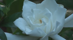 Gardenia Flower Early Morning Stock Footage