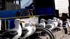 Seagulls with forklift working in the background fishing industry jobs birds - stock footage