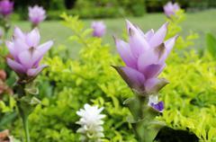 Close up of siam tulip or summer tulip Stock Photos