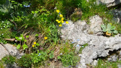 Alpine flowers, Austria Stock Footage