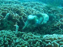 Reef cuttlefish flashing warning signs Stock Footage