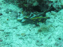 Pfeffer's flamboyant cuttlefish walking along coral reef Stock Footage
