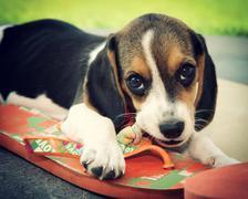 Cute beagle puppy Stock Photos